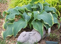 Hosta 'She's a Dancer'