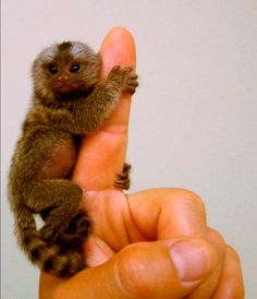 pygmy marmoset - the tiniest (and cutest) monkey in the world! Animals And Pets, Baby Animals, Funny Animals, Cute Animals, Primates, Animals Beautiful, Beautiful Creatures, Tiny Monkey, Pet Monkey