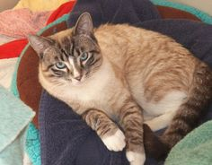Lynx point with white feet! Available For Adoption | Purebred Cat Rescue