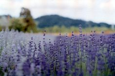 The other day James and I made a trek out to Hood River Lavender Farms. We were just a bit early, the lavender should be in full bloom in the next few weeks-but it was still a gorgeous sight! Peaceful Places, Beautiful Places, Beautiful Scenery, Beautiful Life, Beautiful Pictures, Champs, Field Of Dreams, Lavender Fields, Lavender Blossoms