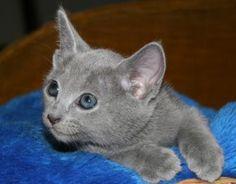 prussian blue kitten