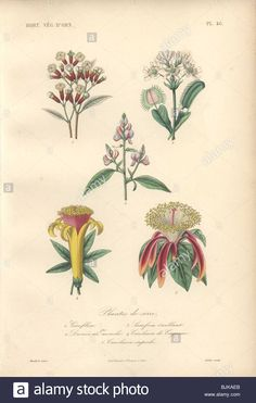 Download this stock image: Decorative botanical print with clove bush, venus flytrap, sainfoin and carolinea from Herincq's Regne Vegetal (1865). - BJKAEB from Alamy's library of millions of high resolution stock photos, illustrations and vectors.