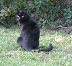 Lost Cat - Domestic Short Hair - GLOUCESTER, ONTARIO, CANADA K1V 1W4