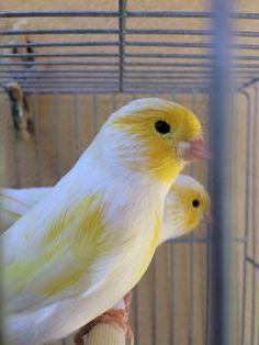 Cute Birds, Pretty Birds, Small Birds, Colorful Birds, Beautiful Birds, Finch Bird House, Flying Bird Silhouette, Pet Rodents, Canary Birds