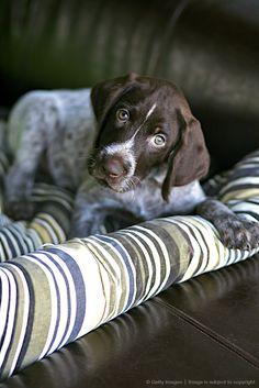 Image detail for -German wirehaired pointer puppy on sofa, Vancouver, British Columbia