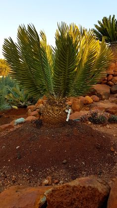 E.heenanii Ruimsig June 2018 Palm Garden, Tropical Gardens, Palmiers, Exotic Plants, Palm Trees, South Africa, June, Around The Worlds, Heaven
