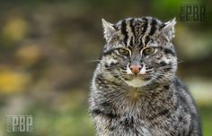 Fishing Cat | fishing_cat_by_picturebypali-d62m54c.jpg