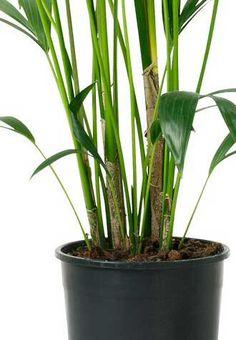 plebodium home garden pinterest. Black Bedroom Furniture Sets. Home Design Ideas