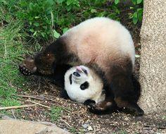 Downward dog .... panda style.