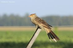 Aves de Argentina: Pirincho (Guira guira)