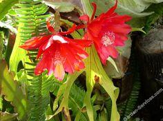 cactus_flowers_mullum.jpg