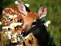 White Tailed Deer smelling daisies