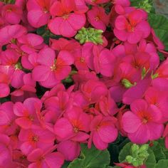 15 Film Coated Multi Bloom Rose Geranium Seeds