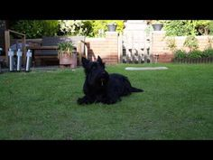 Video: A very obedient (and cute) Scottish Terrier from Scottish Terrier and Dog News for 06/02/2015