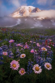 Wildflowers at Paradise (Mt. Rainier, Washington State) Lupine, Indian Paintbrush, Asters and Pasque flowers
