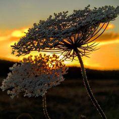 Bye bye day... #sunset #sunset_lovers #awesomeshots #skyporn #flowers #warmcolors #silhouette #lakeconstance #Germany #puestasdesol #crepúsculo #ocaso #colorescalidos #flores #silueta #lagodeconstanza #Alemania #sonnenuntergang #dämmerung #warmefarben #blumen #bodensee #Höri #badenwürttemberg #Deutschland #kodak_photo #kodakpixpro #az362 #sunsetwarriorgo+LakeConstace-Germany