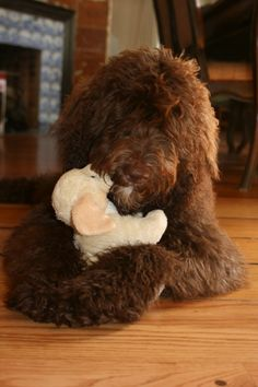 Chocolate Goldendoodle Photo Chocolate Goldendoodle, Mini Goldendoodle, Golden Doodle Dog, Golden Doodles, New Puppy, Puppy Love, Animals And Pets, Cute Animals, Dog Stories