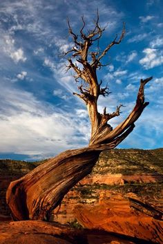 Juniper tree on Colorado National Monument, western Colorado Weird Trees, Colorado National Monument, Juniper Tree, Landscape Photography Tips, Unique Trees, Nature Tree, Natural Wonders, Nature Pictures, Amazing Nature