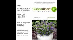 New Dwarf Butterfly Bush Added to Online Plant Catalog at Greenwood Nursery