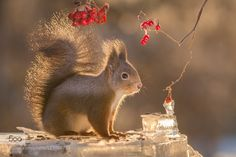 squirrel bright tail by geertweggen. Please Like http://fb.me/go4photos and Follow @go4fotos Thank You. :-)