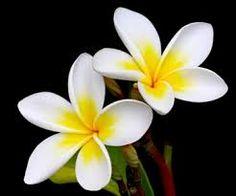 Bildergebnis für frangipani