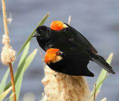 Red-winged blackbird.  Photo: John Piznuir