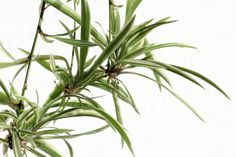 Growing and Caring for Spider Plants | DoItYourself.com