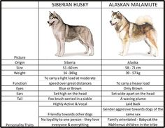 difference between husky and malamute - Bing Images