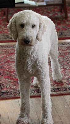 Love this poodle's haircut. This is how I would want ours if we got one.