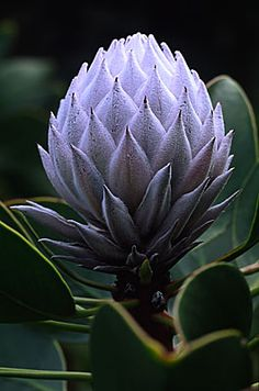 Garden Flowers - Annuals Or Perennials Protea 1413 South Africa The Cape. Photography By Andy Small. Unusual Flowers, Amazing Flowers, Purple Flowers, Beautiful Flowers, Cactus Y Suculentas, Abstract Flowers, Flower Pictures, Cacti And Succulents, Trees To Plant