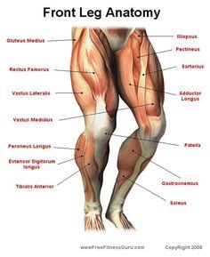 Front Leg Anatomy