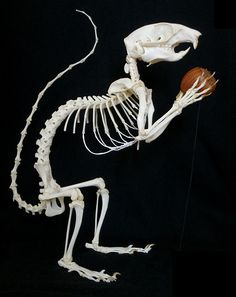 Squelette d'Écureuil des rochers / Rock Squirrel Skeleton (Otospermophilus variegatus) | Flickr - Photo Sharing!