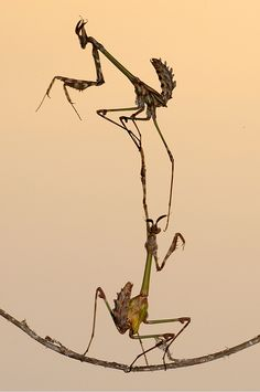 Two mantids balance on nature's high wire. This pictures is called Champion © Arif Avize