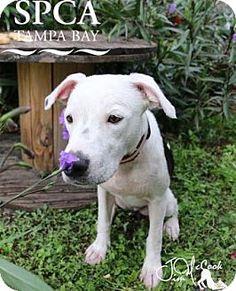 Micro Husky Teacup Punki American Pit Bull Terrier Pups