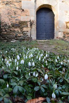 Kvetoucí sněženky na nádvoří Nového Hrádku.