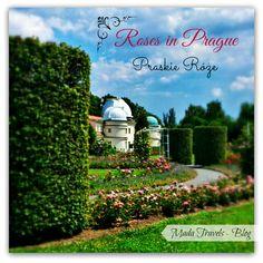 Roses in Prague Roses, Neon Signs, Blog, Travel, Prague, Viajes, Pink, Rose, Blogging