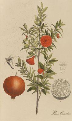 Nees von Esenbeck - Sammlung offizineller Pflanzen. 1828 Pommegranate