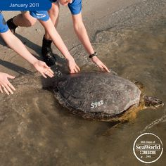 And off you go big guy! With a little help from SeaWorld, this sea turtle was rescued, rehabilitated and returned to its ocean home. Photo #248 of #365DaysOfRescue