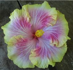 "Tropical Hibiscus ""Dance Recital""...I want this one!"