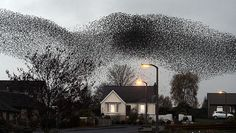 A murmuration of starlings over Gretna - Migrating starlings visit Gretna in Scotland twice a year, in February and November, and flocks of thousands of the birds form shape-shifting patterns in the sky. It is unclear why or how they perform this autumnal aerial acrobatic display.