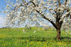 Blühende Kirschbäume am Vierwaldstättersee