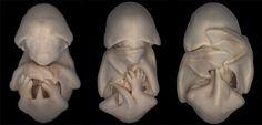 Black mastiff bat embryos | Miss Dorit Hockman, University of Cambridge, UK