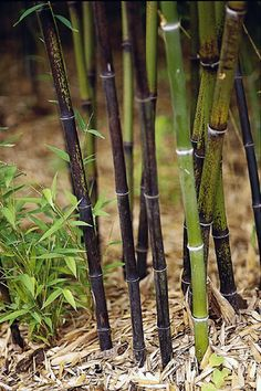 Bamboo plants can easily get out of control as they grow: http://www.bhg.com/gardening/trees-shrubs-vines/shrubs/bamboo-gardening/?socsrc=bhgpin040514bambooplants