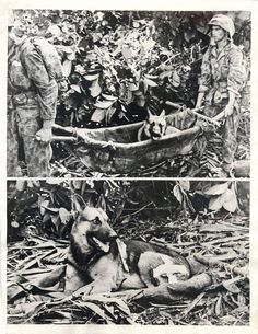 "1943- ""Caesar"", a German Shepherd dog, is carried back from the front lines in a litter by two Marines after he was wounded in action in the battle of Bougainville."