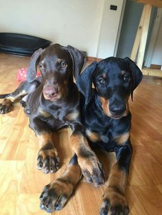 The Doberman Pinscher is among the most popular breed of dogs in the world. Known for its intelligence and loyalty, the Pinscher is both a police- favorite Doberman Pinscher Blue, Doberman Love, Doberman Puppies, Cute Puppies, Cute Dogs, Dogs And Puppies, Doggies, Beautiful Dogs, Dog Life