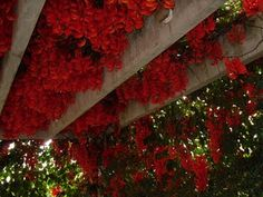 Trepadeira Jade Vermelha