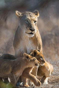 lioness with cubs at sabi sabi private game reserve