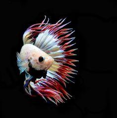 AquaBid.com -  Pride of Siam #2 CT