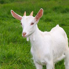 """A kid is a baby goat or antelope, though the word may also refer to leather made from goat hide. You might recognize the phrase, """"to handle with kid gloves"""" meaning """"to handle with care."""" The first recorded usage of kid as slang for """"child"""" was in 1599, and the verb form to kid (meaning """"to joke"""") entered the vernacular in 1839."""