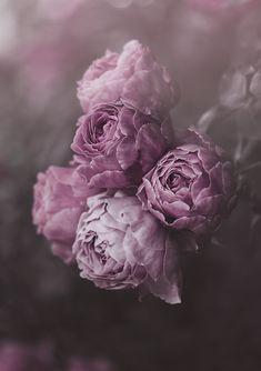 Hazel by marina de wit Purple Roses Flores Wallpaper, Flower Phone Wallpaper, Rose Wallpaper, Peonies And Hydrangeas, Purple Peonies, Peonies Garden, Peonies Bouquet, White Peonies, Beautiful Flowers Pictures